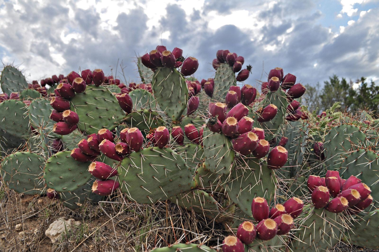 Prickly Pear Cactus - Wilder Good Wilder Good