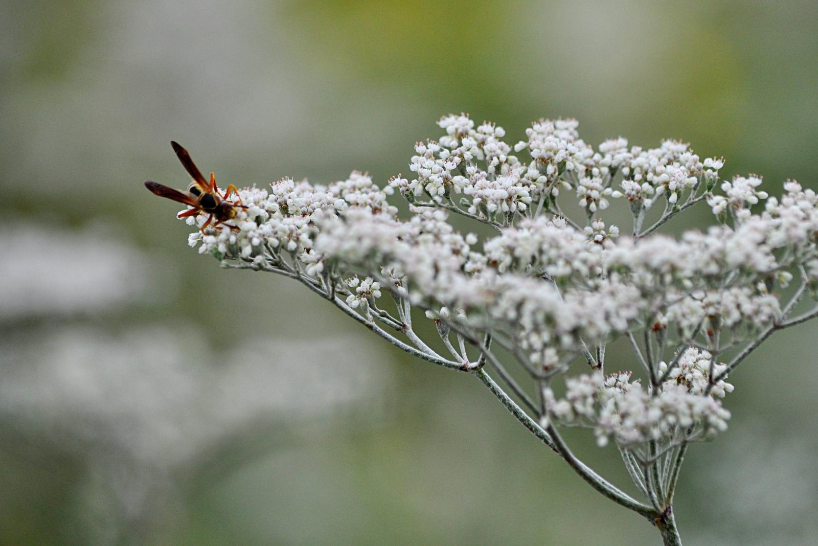 wasp & wild buckwheat