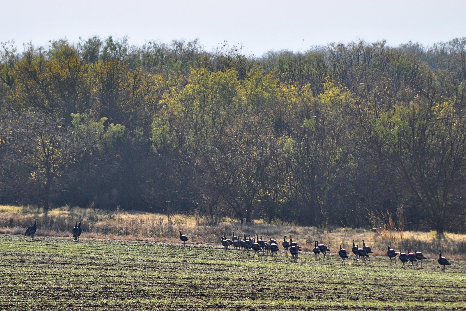 wild turkeys on winter wheat