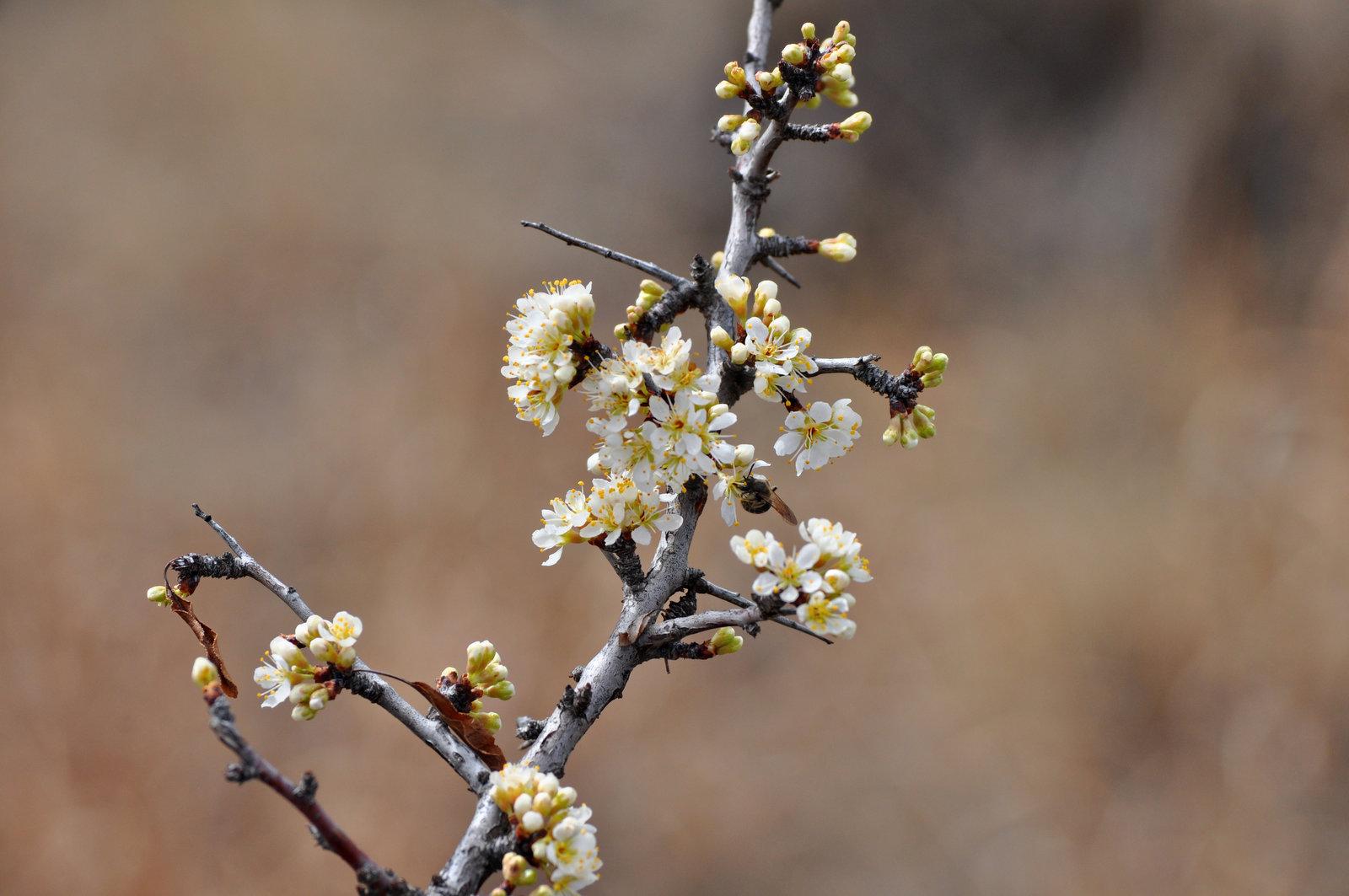 sandhill plum blooms