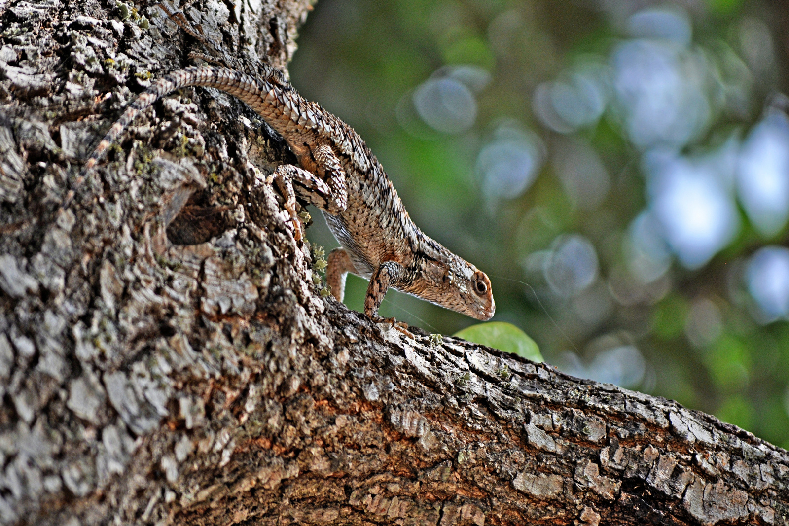 Texas tree lizard