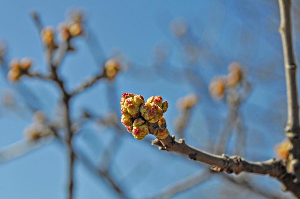 Sand Oak buds