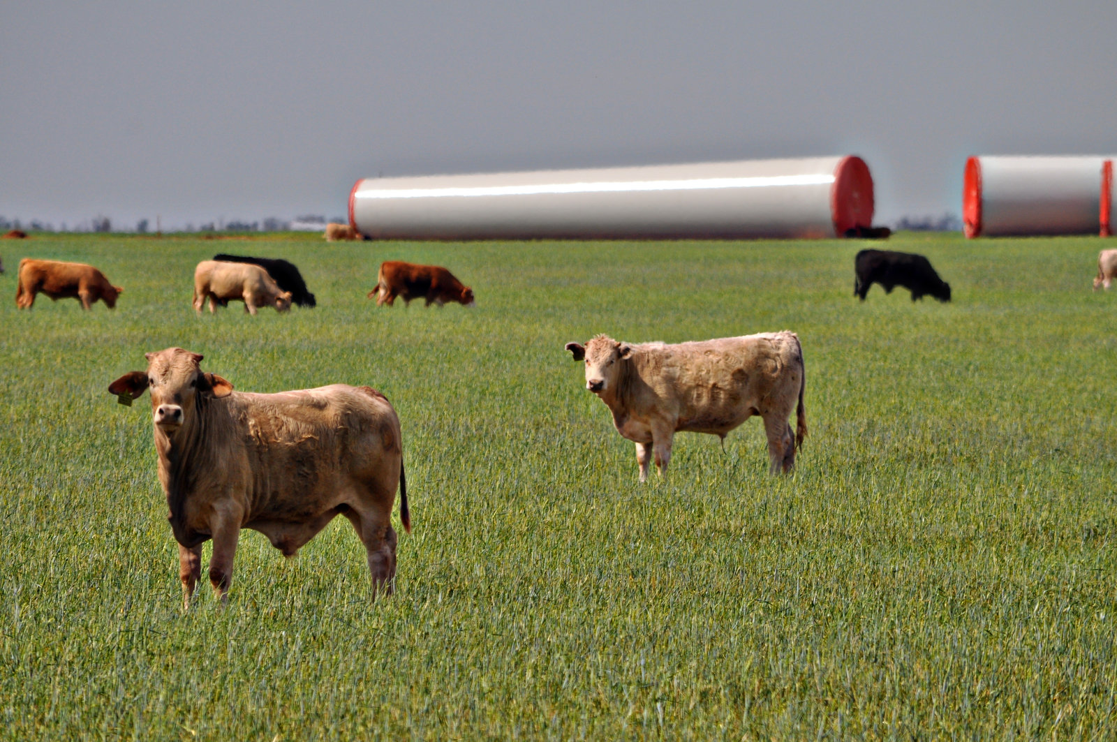 Wheat Pasture Cattle