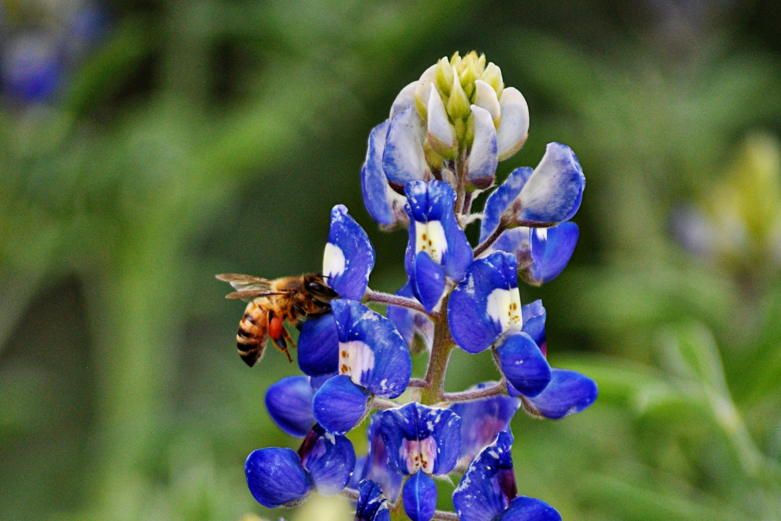 bee on a bluebonnet