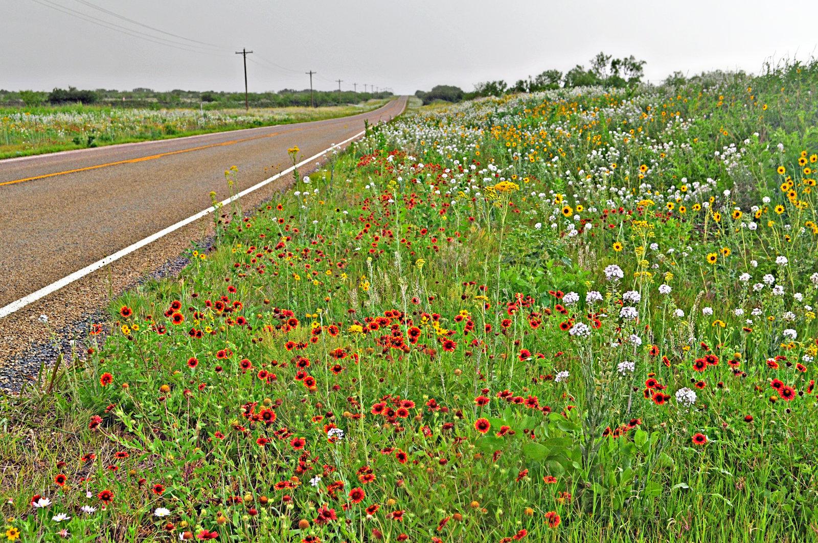 spring wildflowers - Garza county, TX