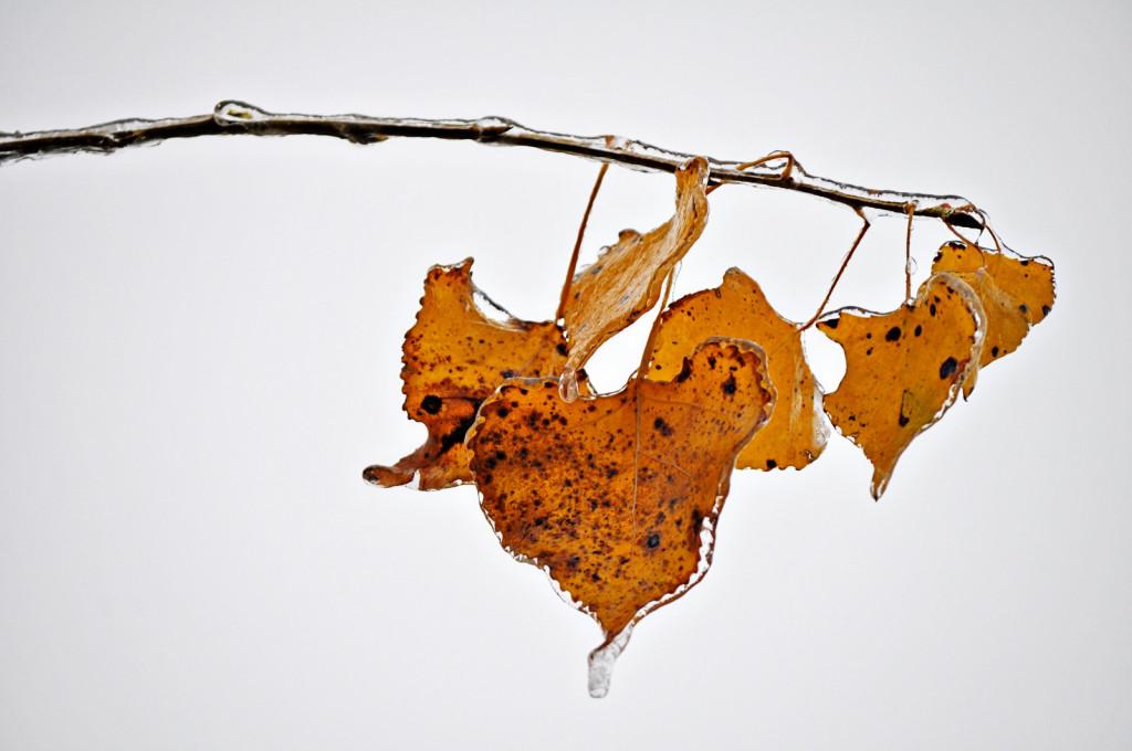 frozen yellow cottonwood leaves