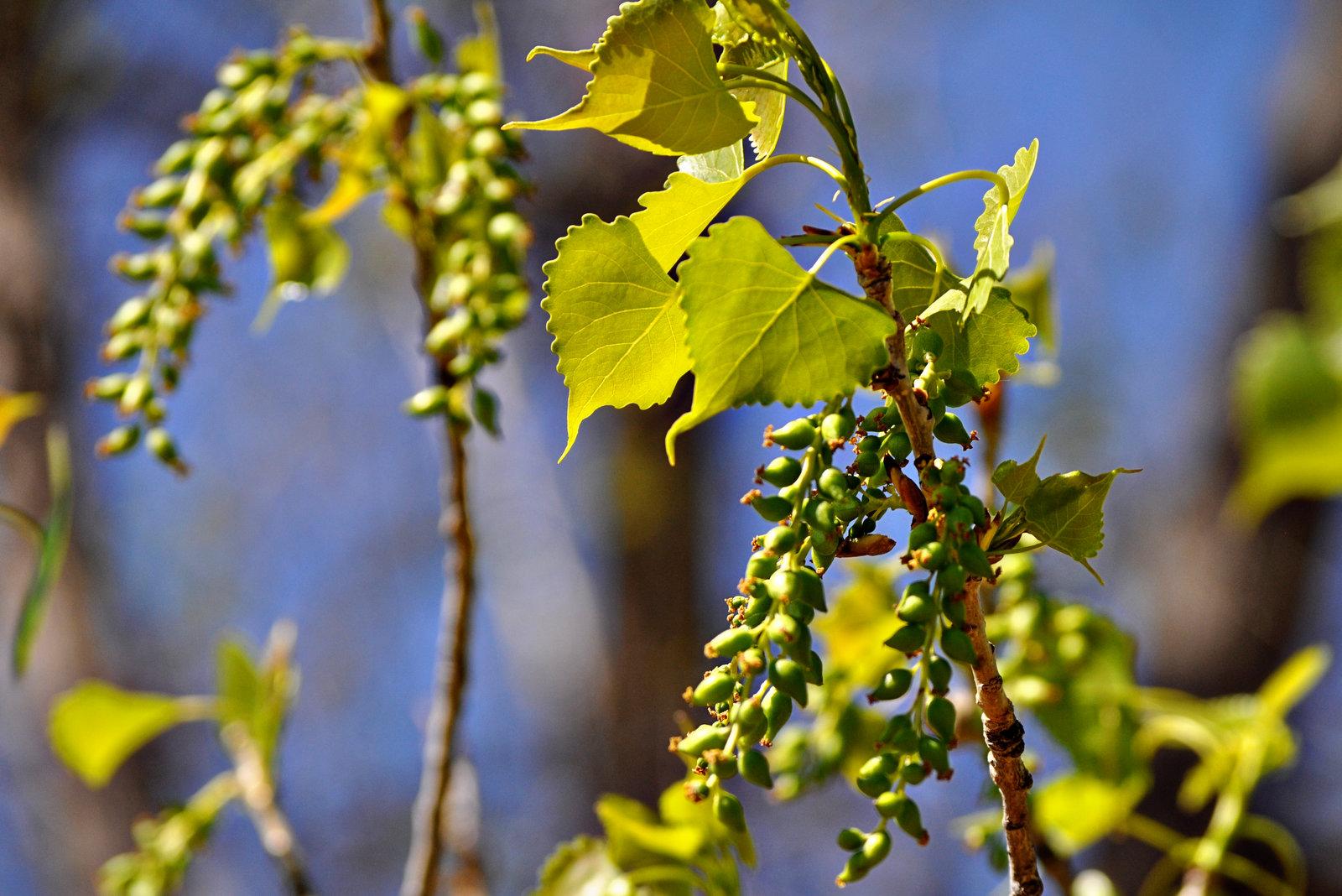 female Cottonwood tree catkins