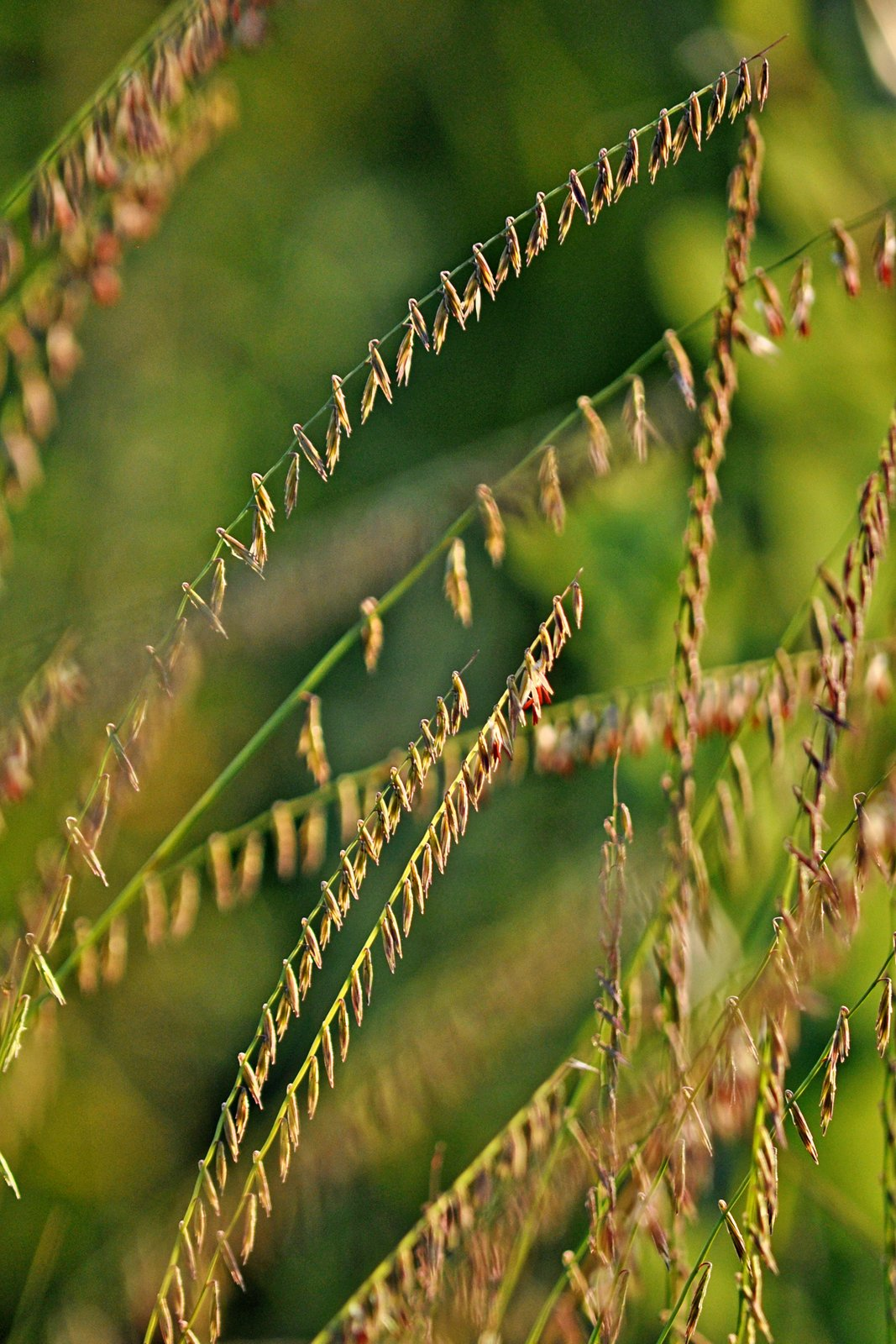 Side-oats grama grass