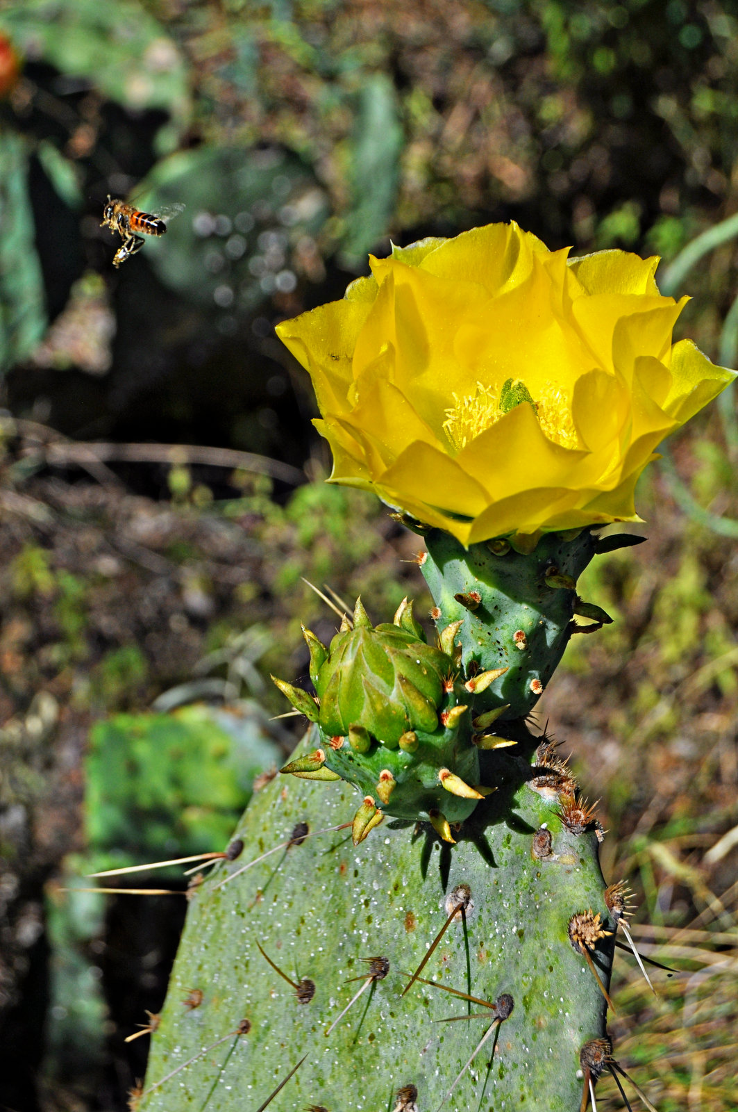 prickly pear bloom - yellow rose of TX