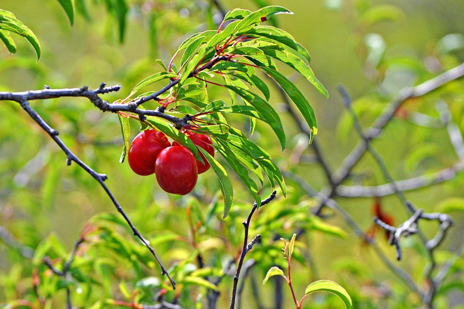 sandhill plums